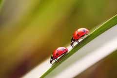 Two ladybugs on a grass stalk. Picture of two ladybugs on a grass stalk Stock Photography