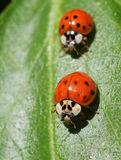 Two Ladybugs Royalty Free Stock Image