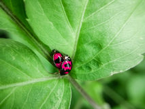 Two ladybugs in love stock images