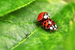 Two ladybugs are mating on green leaf stock photo