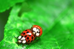 Two ladybugs are mating on green leaf royalty free stock photography