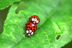 Two ladybugs are mating on green leaf royalty free stock photo