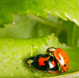 Two ladybugs mating in the bushes Stock Image
