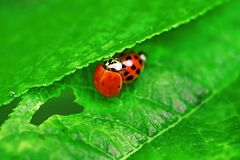 Two ladybugs are mating on green leaf stock images