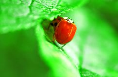 Two ladybugs are mating on green leaf stock image