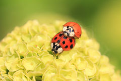 Two ladybugs, mating on a hydrangea flower Royalty Free Stock Photo