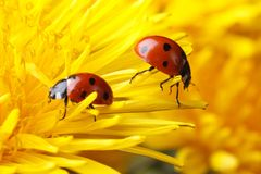 Two ladybugs on the petals of a dandelion Stock Images