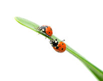Two ladybugs sitting on the edge of the green leaf. Closeup on white background Stock Images