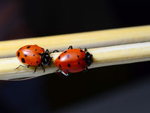 Two ladybugs. On a smooth tan branch Royalty Free Stock Photos