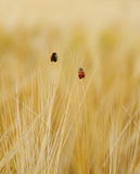 Two ladybugs on wheat field goes up Royalty Free Stock Photography