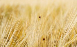Two ladybugs on wheat field Royalty Free Stock Photo