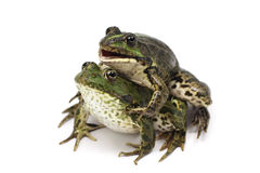 Two lake frog Stock Photography