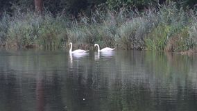 Two in lake at shore. Two swans searching for fodder in lake at shore stock footage