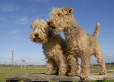 Two  lakeland terrier Stock Images