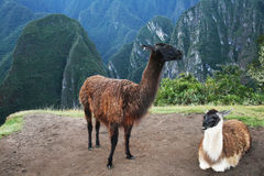 Two lama Stock Photo