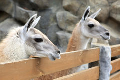 Two lama in zoo Royalty Free Stock Photos