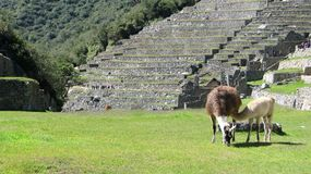 Two lamas grazing in the middle of Machu Picchu. Two llamas in Machu Picchu, Peru Royalty Free Stock Image