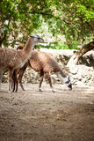 Two lamas Stock Photography