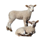 Two Lambs stock photos