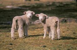 Two lambs Stock Photo