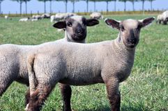 Two lambs Stock Image