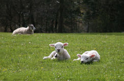 Two Lambs Stock Photography