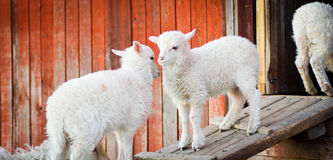 Two lambs Royalty Free Stock Photo