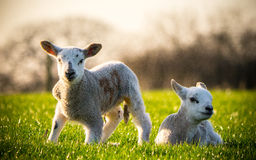 Two Lambs Royalty Free Stock Photos