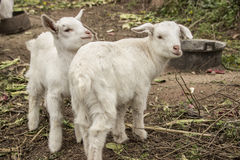 Two lambs breath Royalty Free Stock Photo