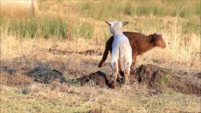 Two lambs, brown, white, spring. Sheep on farm in the nature stock footage