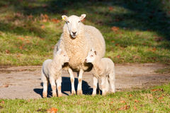 Two Lambs Close to Mother Ewe in Spring Sunshine Royalty Free Stock Photo