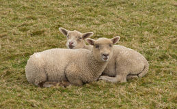 Two lambs cuddled up in a field Royalty Free Stock Photo