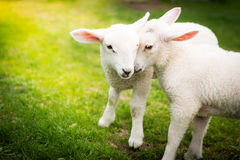 Two lambs cuddling on the green field Stock Photography