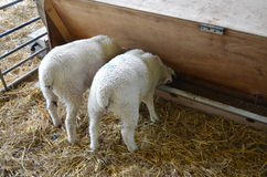 Two lambs feeding from a trough. Royalty Free Stock Photo