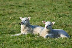 Two Lambs in field Stock Image