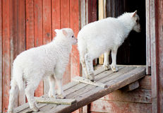 Two lambs going inside Stock Photography