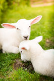 Two lambs on the grass Stock Photo