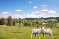 Two lambs grazing Stock Image