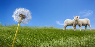 Two lambs grazing on green meadow Royalty Free Stock Photo
