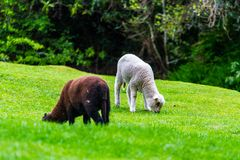 Two young lambs grazing on fresh spring grass royalty free stock photo