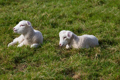 Two Lambs. Lying on a pasture Royalty Free Stock Image