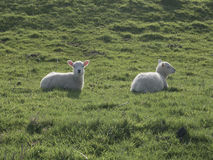 Two lambs lying in sunlight Royalty Free Stock Photography