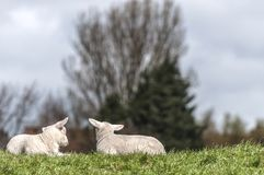 Two lambs lying together on the lawn stock photo