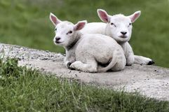 Two lambs lying together royalty free stock image