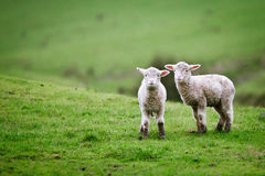 Two lambs on the meadow. Stock Photography