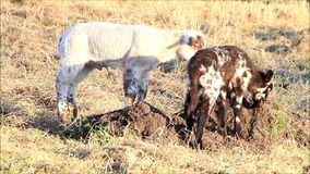 Two lambs in the meadow, spring. Sheep on farm in the nature stock footage