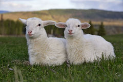 Two Lambs in meadow Stock Photo