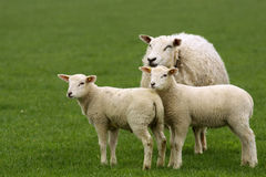 Two lambs and mother sheep royalty free stock photography
