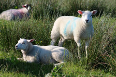 Two lambs, one lying, one standing amongst reeds Stock Photography