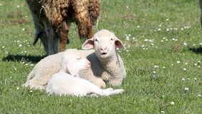 Two lambs on pasture Royalty Free Stock Photos